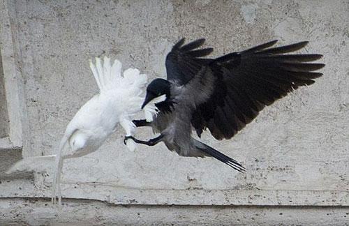 На голубів, випущених Папою Римським після молитви за Україну напали ворон та чайка.