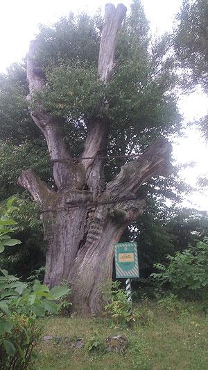 Багатовіковий дуб у Раю